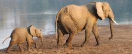 Elephant-in-Malawi